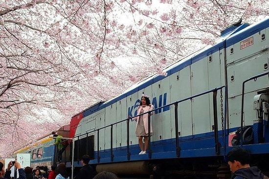 Jinhae Cherry Blossom Festival 1 Day...