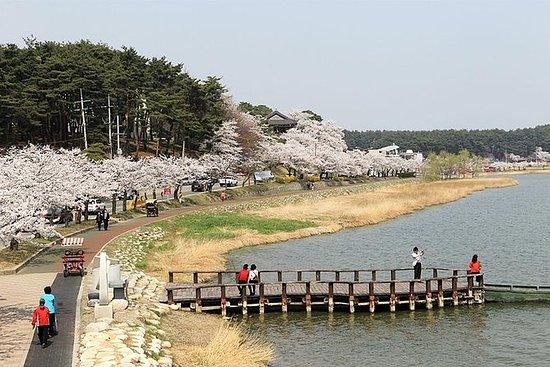 Dagstur til Gangneung Cherry Blossom...