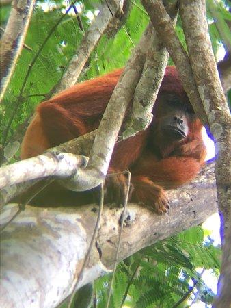 Red Howlar monkey