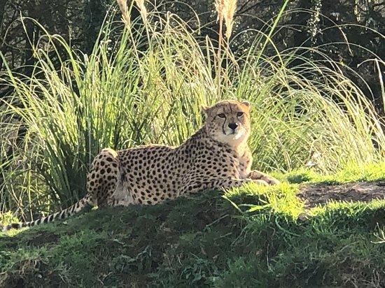 Sparkwell, UK: Cheetah at Dartmoor Zoo
