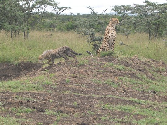Porini Mara Camp: Cheetah with cub