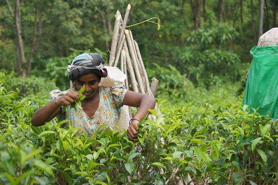 Tea plantation by the bangalow