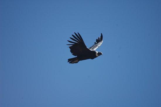 Colca Canyon, Peru: En el Cañón del Colca - AREQUIPA - podrás disfrutar del majestuoso vuelo del Cóndor Andino, una de las aves voladoras más grandes del mundo.