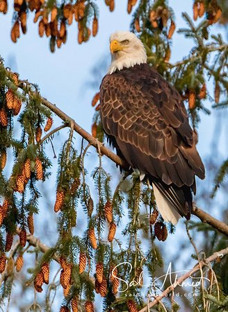 Skagit River Guide Service - Private Tours: Eagle Resting on pine tree Canon 7D Mark II Tamron 150-600mm f/5-6.3 lens Hand held on monopod