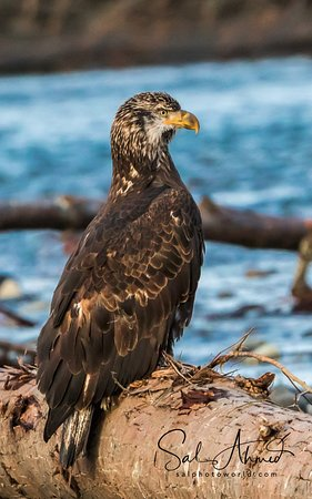 Skagit River Guide Service - Private Tours: Juvenile Bald Eagle, Watching Papa and Mama Hunting Skills Canon 7D Mark II Tamron 150-600mm f/5-6.3 lens Hand held on monopod