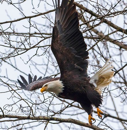 Skagit River Guide Service - Private Tours: Leaving For Hunting! Canon 7D Mark II Tamron 150-600mm f/5-6.3 lens Hand held on monopod