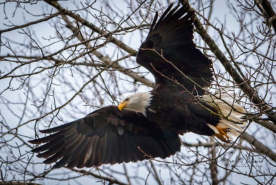 Skagit River Guide Service - Private Tours: Ready to Hunt. Canon 7D Mark II Tamron 150-600mm f/5-6.3 lens Hand held on monopod