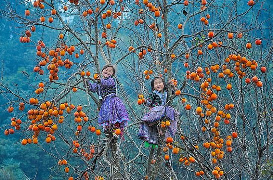 Son La, Vietnam: soaked Japanese persimmon season.