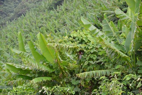 Natural Habitat of Musa Basjoo and Sago Palm