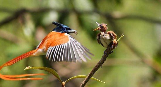 Tangalle, Sri Lanka: mawella bird