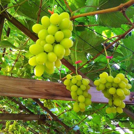 Hayashi Grape Labo
