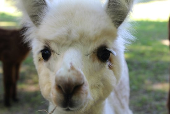 Pleasant Valley, NY: Angel, one of our many adorable alpacas.
