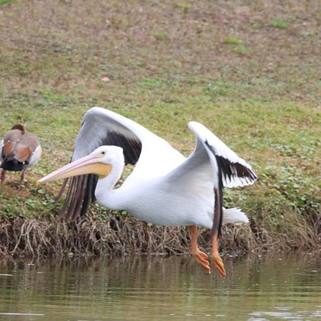 Summerfield, FL: White pelicans fish our lakes while Egyptian Geese are in the background