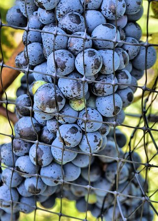 Red grapes at harvest