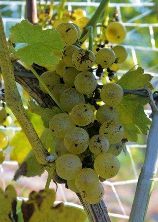 Vigonier grapes