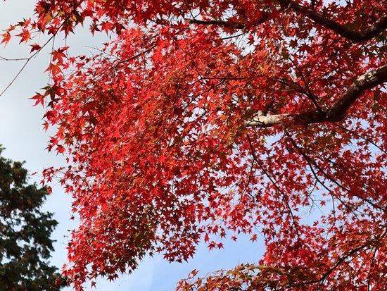 Higashiomi, Japan: 11月下旬が見ごろ