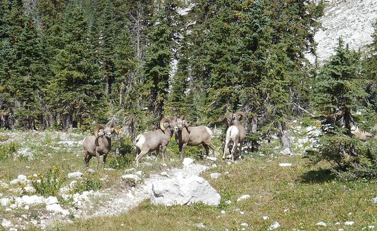 Choteau, Монтана: Big Horn Sheep are often seen in the high mountain meadows we travel through on our various traveling trips.