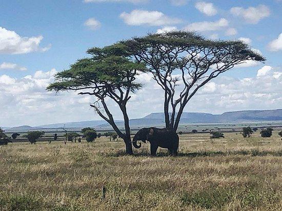 Tanzania Classic - 7 Days: Another Elephant and Acacia Tree!