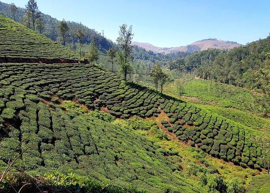 Peermade, Ấn Độ: parunthumpara tea gardens