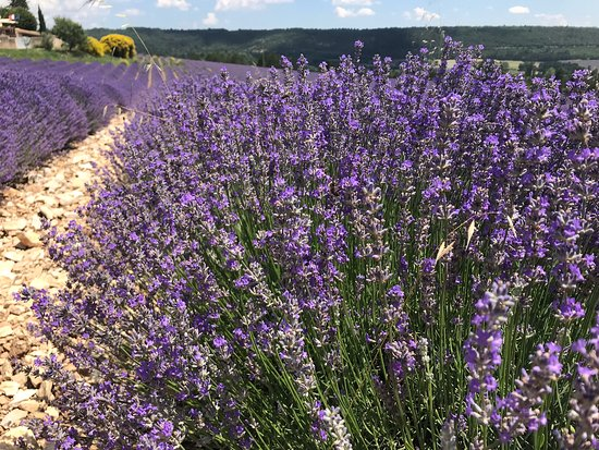 Experience Provence Tours : Lavender!