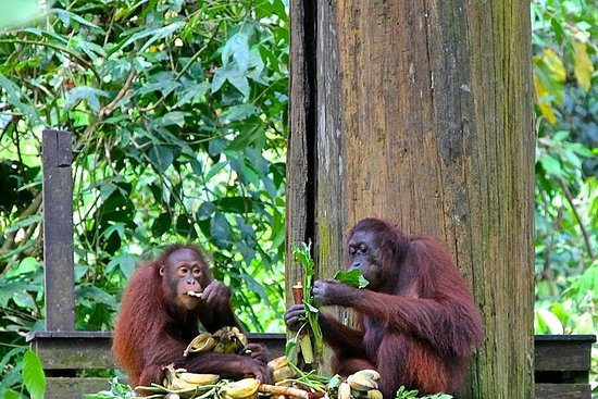 Full-Day Sepilok Orangutan and Sun...