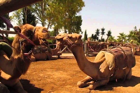 Excursión Larnaca Market y Camel Park...