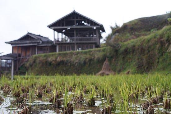 Гуйчжоу, Китай: CINA - GUIZHOU  Risaie allagate. Le piante iniziano a crescere, raggiungeranno la fase di raccolta nella tarda estate quando diventeranno gialle e piegate verso il basso dal peso del riso.  Questa foto l'ho fatta nel villaggio-muso di Tang'ancun a pochi chilometri da Zhoxing nella parte est della regione del Guizhou! Posti spettacolari!