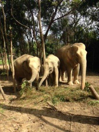 Samui Elephant Sanctuary: too young and one old Elephant