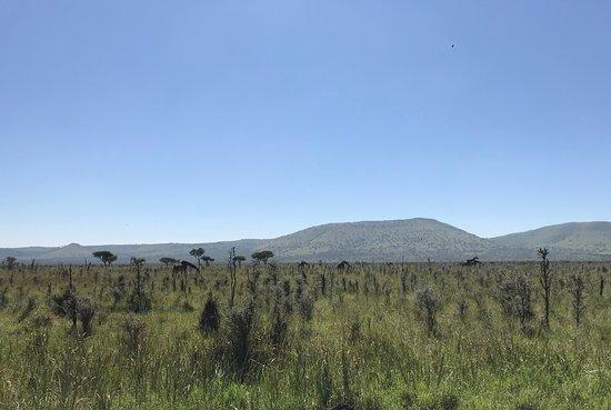 Homa Bay, Quênia: Giraffes everywhere!
