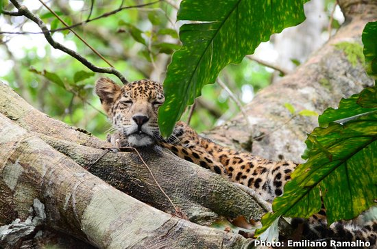 Mamiraua Reserve, AM: We still have availability for our Jaguar Programs in 2019 :-) do not miss it - take part in​ the scientifc ​expedition around the biggest cat in the Amazon!