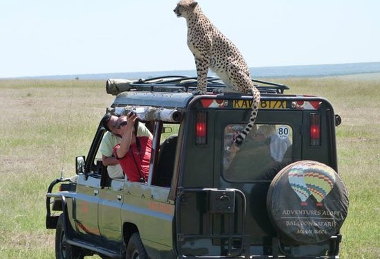 Fig Tree Camp: When we talk of curiosity that killed the 'cat'. Could this be that cat? Anyway, this is the scenario when you visit Masai Mara and the cheetah happens to choose your jeep to be his 'higher' grounds...  Who knows, maybe you could get this close to him in your next trip...however be careful to keep your adrenaline low because you know what it can trigger and we do not want any accidents and incidents.  Welcome to the Mara!