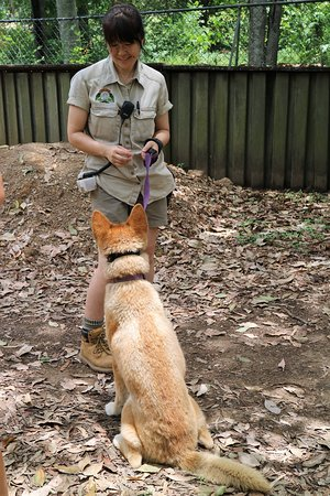 We 1st saw the dingo's while they were being walked.