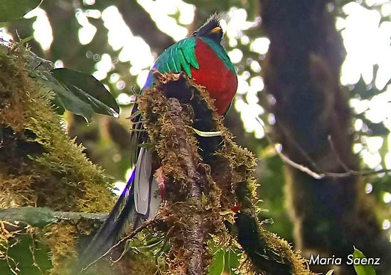 Monteverde Wild Hikes: Resplendent Quetzal posing for Maria's Camera