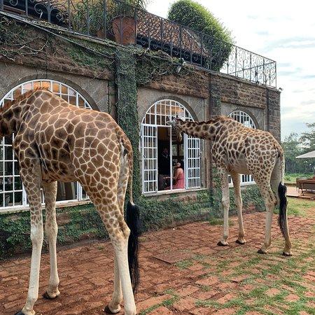 Giraffe Manor-billede