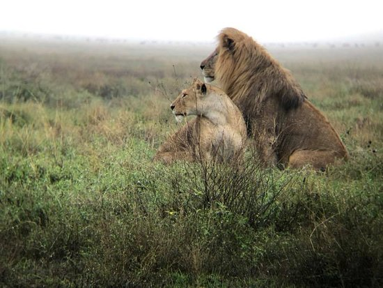 Majestic lions in the Serengeti