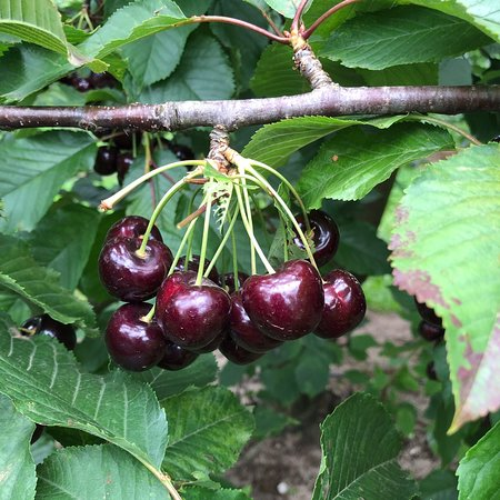 Ripe N' Ready Cherry Farm