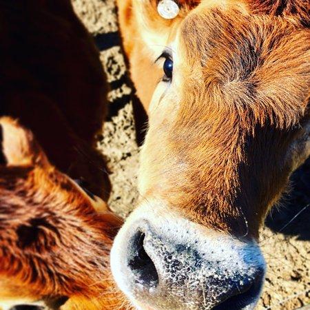 Ayden, NC: Baby cows