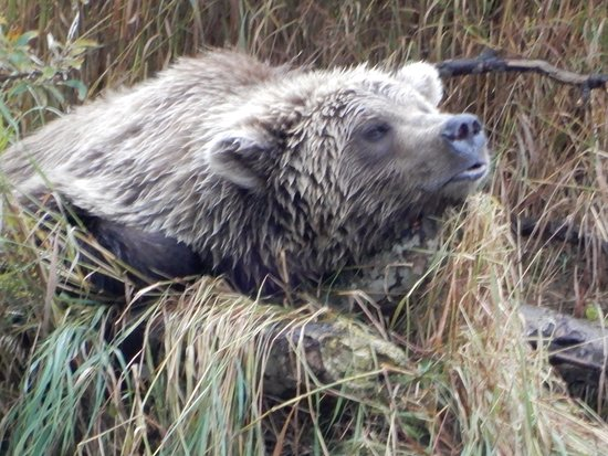Iliamna, AK: Brown bear on the Kuilk river with a belly full of Sockeye's