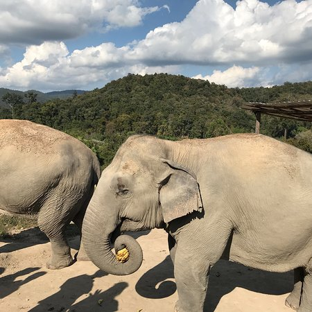 Half-Day Morning Visit to Elephant Jungle Sanctuary in Chiang Mai: Feeding time includes bananas!