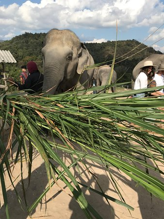 Half-Day Morning Visit to Elephant Jungle Sanctuary in Chiang Mai: I believe this is sugar cane that they are eating.