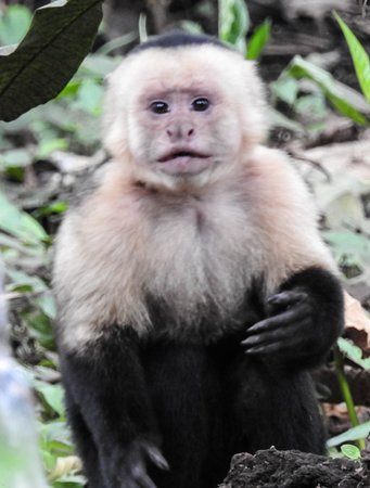 Playas del Coco, Costa Rica: White faced monkey
