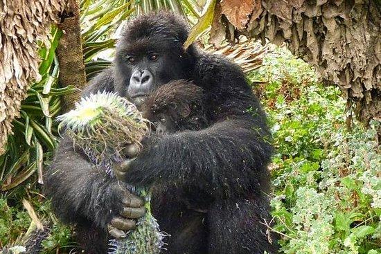 2 jours de safari dans les gorilles...