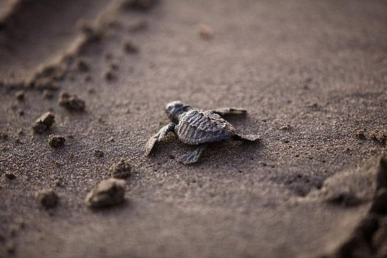 Conservation des tortues au Costa...