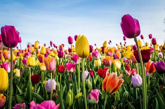 L'ultima esperienza con i tulipani
