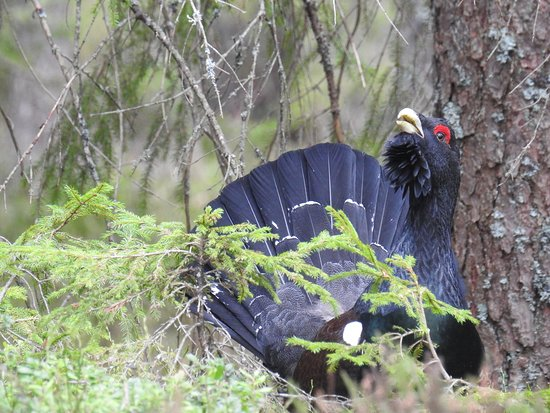 Tived, Sverige: Capercaillie male durin lekk in April