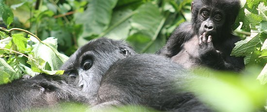 Gorilla Experience Safaris