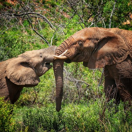 Elephants playing in the Pilanesberg