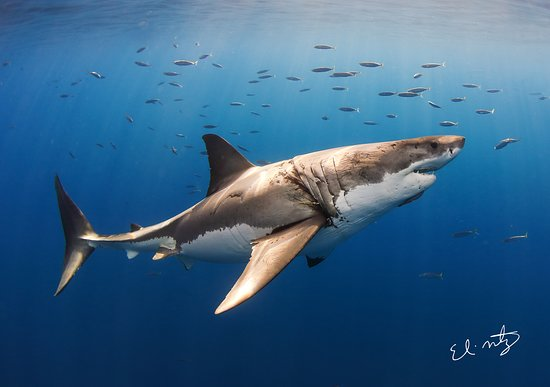 Riviera, Техас: White Shark, photograph during our Guadalupe Island, Mexico expedition.