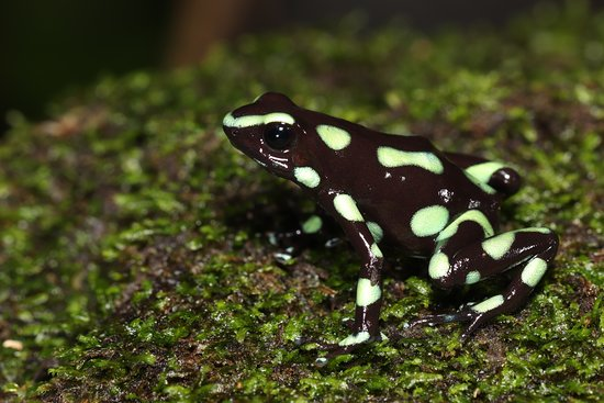 Darien Province, ปานามา: Black and green poison frog (Dendrobates auratus), from the Darien Gap.