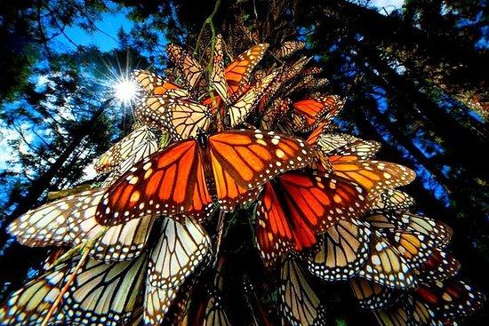 7 Day-Monarch Butterfly Ecofriendly...